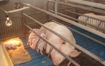 教你如何提高仔猪的出生重量?