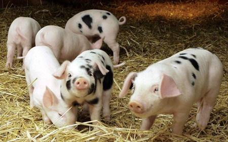 怎样才能促进猪只的消化与吸收?