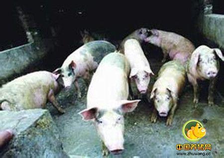 母猪阉后再发情原因及防治