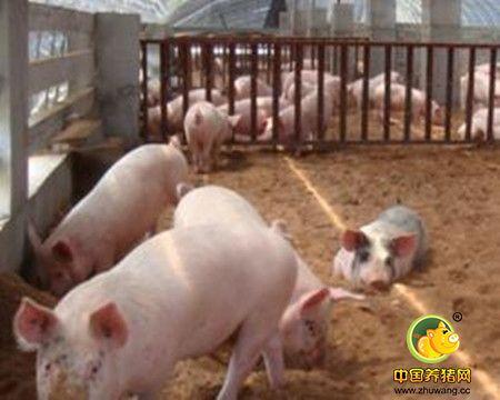 猪场如何提高养猪料肉比?