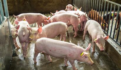 腊肉替代鲜肉消费 猪价跌破18元