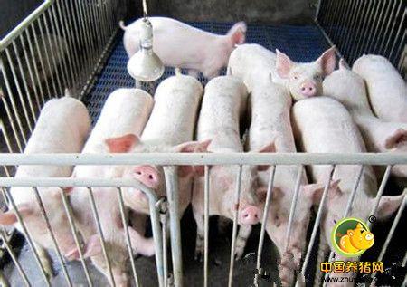 猪场生产成绩如何评判?可能需要您熟知PSY、MSY、LFY及RSY......