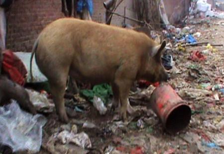 老人胡同里养猪50年 接连丢猪十多头