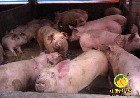 就是这三毒让猪场损失惨重,你中招了吗