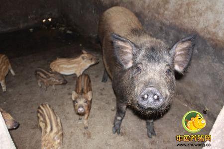 猪也会说话,可是一般的养猪户看不懂!