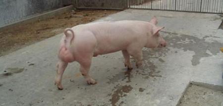 猪肢蹄病如何防治?