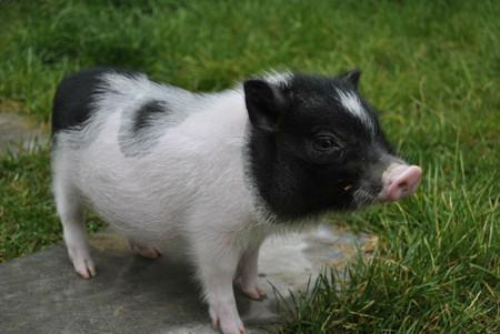 猪价上涨有望! 这一因素将成为猪价上涨的重要契机?