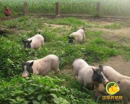 拉脱维亚再次在养猪场发现非洲猪瘟病毒将扑杀1万头猪