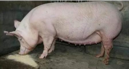 母猪的妊娠和分娩