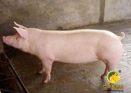 公猪的初情期及配种年龄