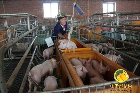 提高母猪年产仔窝数的措施