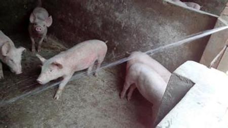 """猪场万恶之源—""""猪场三毒"""",您了解多少?!"""