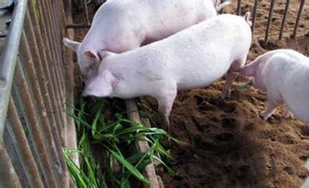 养猪诀窍看这里,养殖户省钱与否就靠它了