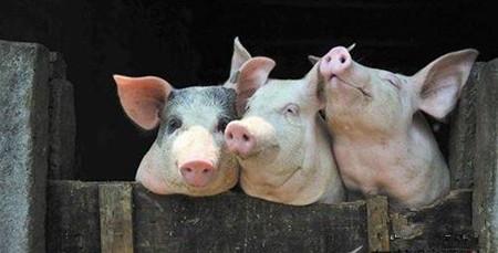 看看自己的养猪场是不是也存在这些漏洞---五大消毒漏洞