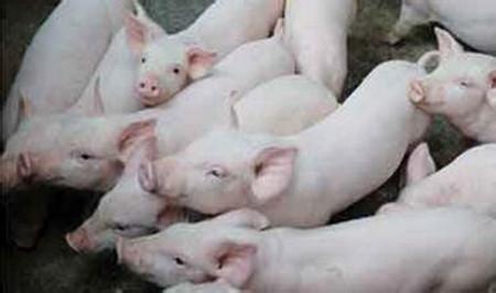 保证所有仔猪吃上初乳的技术