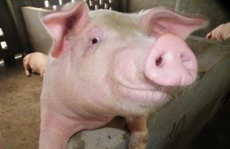 控制好妊娠母猪的营养水平