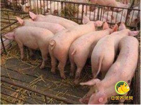养猪场引种五大攻略