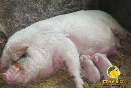 母猪催奶有良方