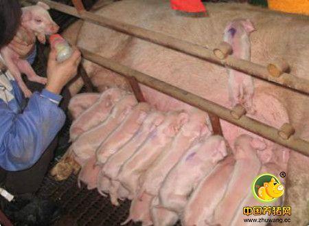促进母猪发情排卵的措施