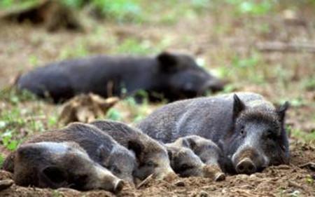 野猪繁殖要点,如何抓好野猪繁殖工作