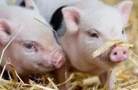 仔猪寄养的四种方法,仔猪失乳要及时寄养