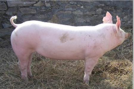 种猪淘汰标准,哪些种猪应及时淘汰