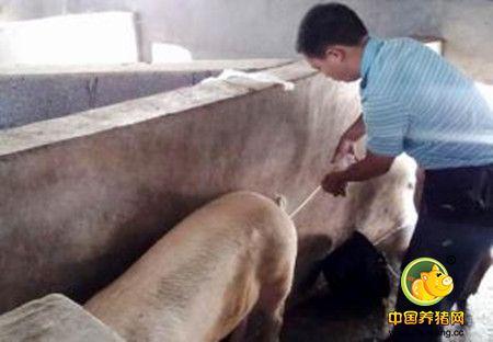 猪人工授精的好处,猪进行人工授精有哪些益处?