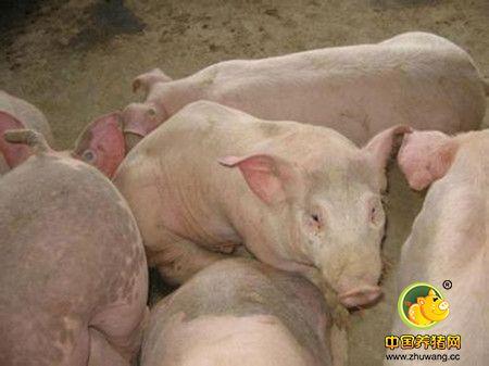 副猪嗜血杆菌与圆环病毒混合感染防控