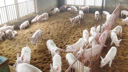 中国2016年进口300万吨法国猪肉 拯救了法国养猪业!