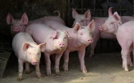 土方治疗土方治疗猪寄生虫病
