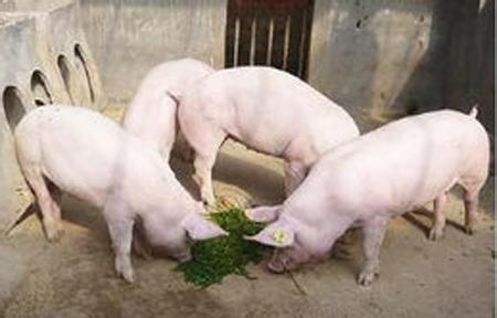 一招判断猪是否携带附红细胞体病毒/老兽医的经验