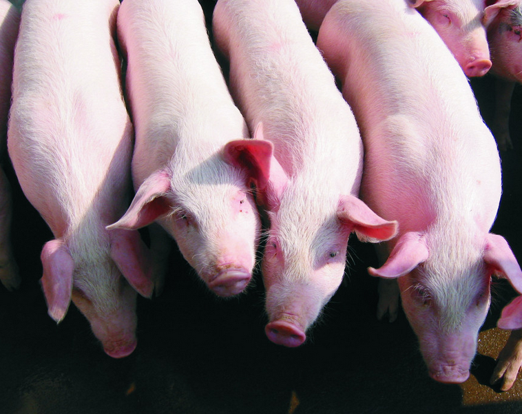 饲养猪与猪场的管理要求