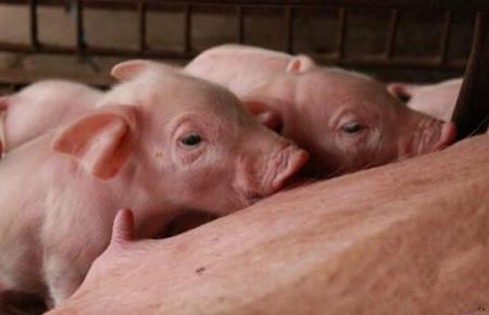 如何选择后备母猪,后备母猪的选择