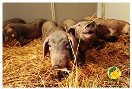 原来猪也会定点上厕所,这样设计猪圈猪好养工人也爽