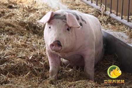 """""""神""""总结,何种情况下给猪并圈不用担心猪打架?!"""
