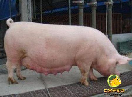 原来怀孕后期母猪水肿的原因是这样!