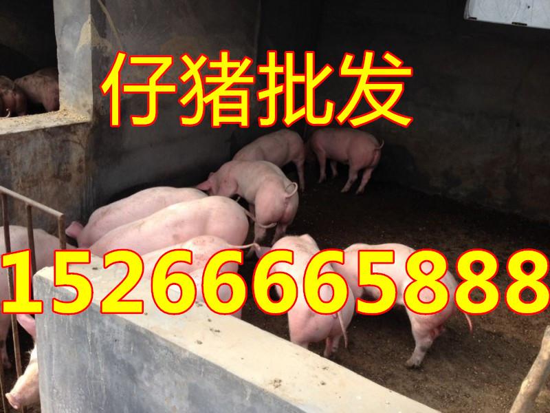 仔猪价格-山东树利猪场出售三元仔猪15266665888