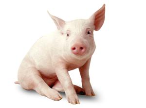 仔猪腹泻的防控金盾