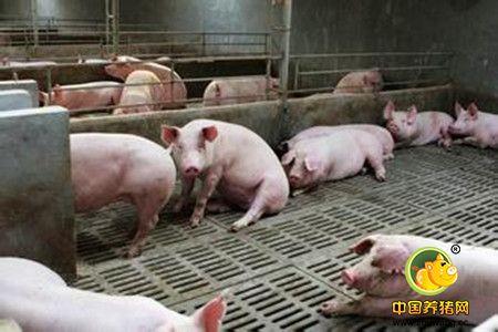 后备种猪怎么选?