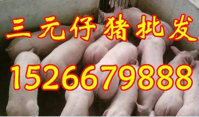 山东仔猪畜牧合作社常年供应仔猪猪苗