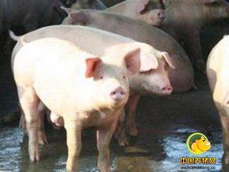母猪屡配不孕的原因汇总