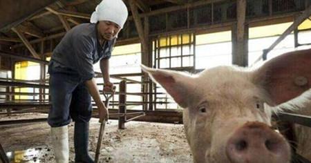 小散养猪人降低成本方法