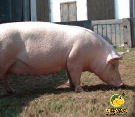 怀孕母猪一天喂多少料?怀孕母猪喂料量的计算方法
