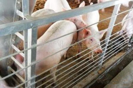 光照水平对母猪繁殖有什么影响?