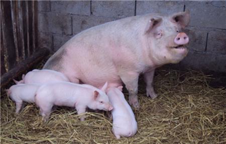 初产母猪不哺乳?仔猪不采食?