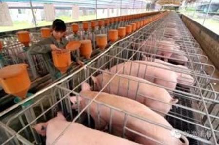 没有不存在问题的猪场,只有发现不了问题的眼睛:猪场应激成本如何核算?