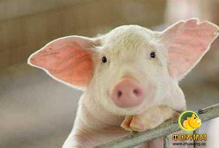 养猪技术20项细节,老兽医都不一定全知道!