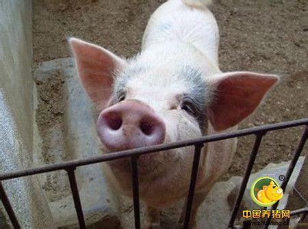 保育猪气喘、呼吸困难,不怎么吃食怎么办?