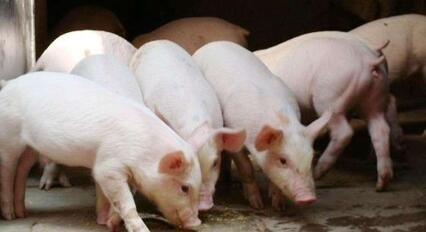 猪价止跌上涨,是否只是昙花一现?