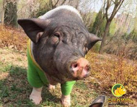 初产母猪产期不睡觉